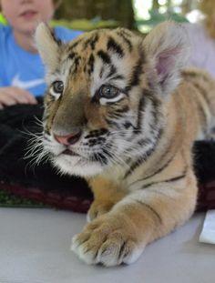Good morning from a cute tiger cub at Dade City's Wild Things