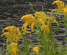 State Flower - Goldenrod