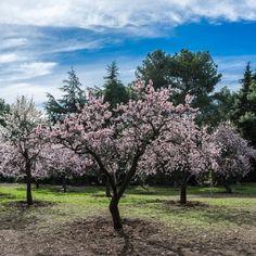 almond-tree-1226314_640