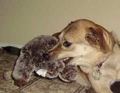 Tough dog toy! Reviews at www.toytails.wordpress.com