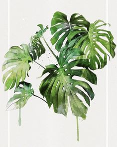 Monstera Monsteradeliciosa Plants Pflanzen Zimmerpflanzen urban jungle greenery Gr n Houseplants Plant Painting, Plant Drawing, Plant Art, Illustration Botanique, Plant Illustration, Watercolor Plants, Watercolor Paintings, Vegetal Concept, Illustration Inspiration