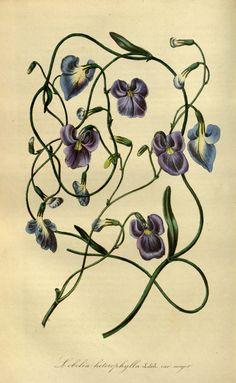 → Flore des serres et des jardins de l'Europe - Biodiversity Heritage Library 1845