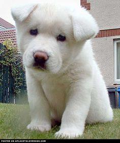 cute-and-fluffy-akita-puppy