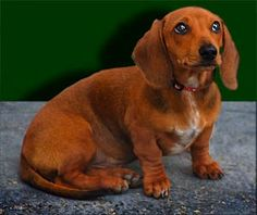 House training tips for dachshunds