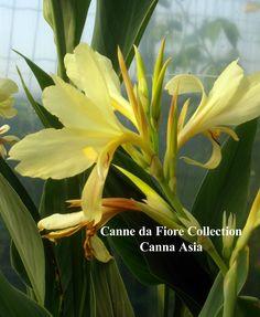 Canna Thai bianca ottenuta da seme. alta 1,5-2,00 mt, foglie allungate. Bulbosa estiva