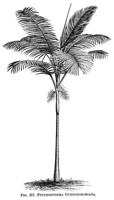 Here is a vintage clip art image of a palm tree. The scientific name for this tropical tree is Ptychosperma Cunninghamiana. The image is from the Illustrated Dictionary of Gardening – A Practical a…
