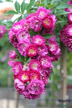 'Perennial Blue' (öfterblühende Ramblerrose), halb gefüllte Blüten, dunkelgrüne Blätter, Duft