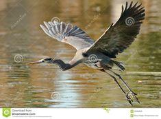 Great Blue Heron Royalty Free Stock Image - Image: 28380856