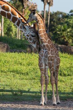 New baby giraffe with Mama!