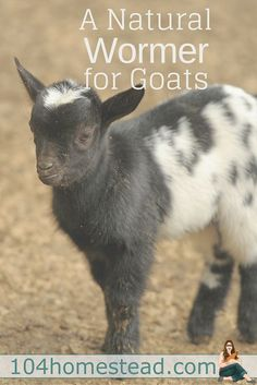 You may have heard all sorts of talk about rotating wormers and wormers loosing effectiveness over time. What if you didn't have to worry about that anymore Raising Farm Animals, Raising Goats, Animals And Pets, Cute Animals, Baby Animals, Keeping Goats, Goat Pen, Goat House, Goat Care