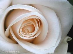 Vendella rose