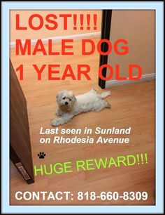 """San Fernando Valley Lost & Found Pets LOST! #Sundland #Tugunga #CA (Rhodesia/Foothill) Male matlese """"Nikko"""" Call 818-660-8309 or email javier_resendiz_79@yahoo.com if seen. White. Intact (Not Fixed). 1 year old, 15-20 lbs. Not wearing a collar. Not microchipped. Lost 07-11-2014 3:00 PM. Note from owners: Extremely friendly, approachable his left ear flaps down. Please share!"""