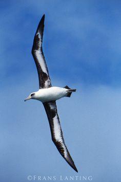 Laysan albatross in flight, Phoebastria immutabilis, Hawaiian Leeward Islands
