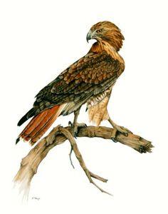 Red Tailed Hawk.jpg (480×611)