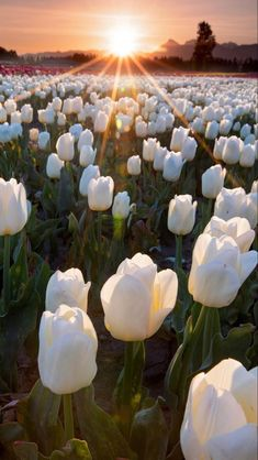 Happy Flowers, Tulips Flowers, Pretty Flowers, Spring Flowers, Planting Flowers, Beautiful Flowers Pictures, Beautiful Flowers Wallpapers, Pretty Wallpapers, Flower Pictures