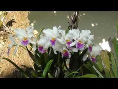 Horta, frutas e flores no jardim: Orquideas Cattleya