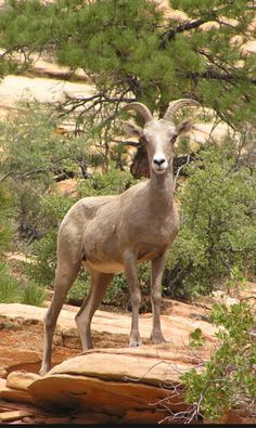 Bighorn Sheep - Zion National Park (U. Zion National Park, National Parks, Big Horn Sheep, Utah Usa, National Treasure, Park Service, Geology, Places To See, Adventure