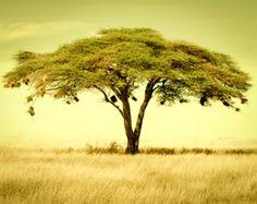 Acacia tree in Tanzania