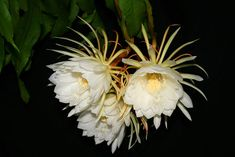 13 Flowers that Bloom at Night (Photos) - Garden Lovers Club Night Blooming Flowers, Night Flowers, Blooming Plants, Fruit Flowers, White Flowers, Beautiful Flowers, Night Garden, Moon Garden, Dream Garden