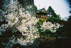 FYI: All the pictures, gifs, etc. To Go, Cherry Blossoms, Japanese, Seasons, House Styles, Places, Garden, Tea, Pictures