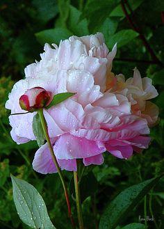 rain soaked peonies - one of my favorite spring flowers