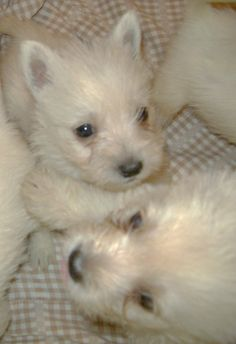 Westies Puppies>>I remember sammy looking like this!!!