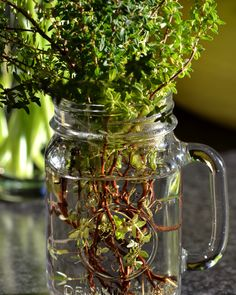 Thyme Mason Jars, Mugs, Tableware, Nature, Dinnerware, Cups, Mug, Dishes, Naturaleza