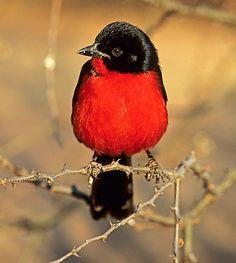 Crimson Breasted Shrike Photos by Warwick Tarbaton
