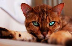 Bengal cat (71 photo) (33)