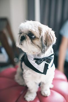 Shih Tzu Frankenstein Lebron WooPan, was the ring bearer at the wedding of Angela and Andrew Woo. Photograph by Nat Wongsaroj Photography.