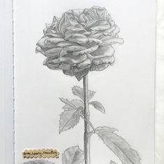 """Flower Study. 11"""" x 8 1/2"""" sketchbook. Graphite pencil. 2015. By: Marissa Asal (The_Lovely_Drawing on Instagram)"""