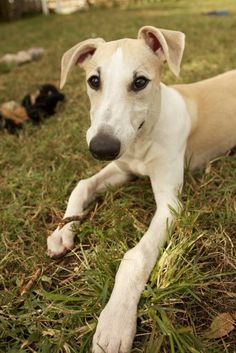 Newman. Photo by wLc Photography. My whippet boy!