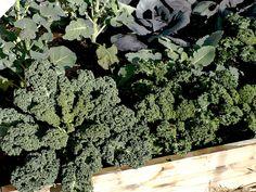 Top Ten Winter Vegetables For Your Home Garden in Portland Growing Winter Vegetables, Types Of Vegetables, Veggies, Garden Boxes, Garden Planters, Oregon Garden, Container Gardening Vegetables, Vegetable Gardening, Gardening For Beginners