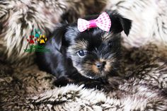 Available Micro Teacup Yorkies* Toy Yorkie Puppies* Yorkie Terrier Puppies *Parti Yorkie Puppies *Chocolate Yorkie Puppies *Merle Yorkie Puppies *Socal Yorkie Teacup Puppies Pomeranian Puppies For Free, Yorkie Poo Puppies, Yorkie Breeders, Toy Yorkie, Teacup Yorkie For Sale, Yorkie Puppy For Sale, Teacup Puppies, Terrier Puppies, Puppies For Sale