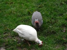 Some interesting facts and benefits of raising guinea fowl | The Poultry Guide