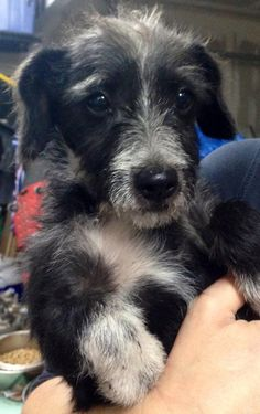 Hi, I'm Kringle and I am a 3-4 month old mixed breed male puppy looking for a forever home and family.  I am thought to be a schnauzer/dachshund mix.  I came to the rescue pretty scared but I am warming up to my foster family hourly.  Another dog...