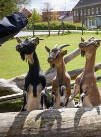 Are/ Goats Smart