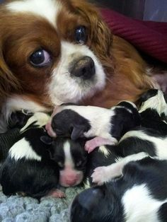 The pup's Daddy was most likely a Tri-Color boy! Love it when they have both colors in a batch!