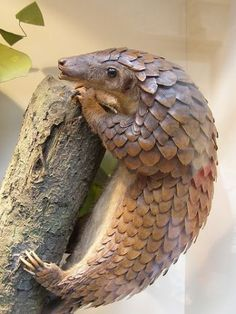 "A pangolin (also referred to as a scaly anteater or trenggiling) is a mammal of the order Pholidota. The one extant family, Manidae, has one genus, Manis, which comprises eight species. A pangolin has large keratin scales covering its skin, and is the only known mammal with this adaptation. It is found naturally in tropical regions throughout Africa and Asia. The name, pangolin, comes from the Malay word, pengguling, meaning ""something that rolls up""."