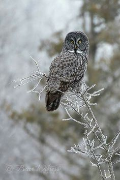 owl perched on icy branch