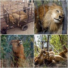 @Regrann from @a_lallie - Made this as I've been so unbelievably moved by these images so had to share. For anyone unaware this is the story of the #33lions They were saved from cruel animal circuses in Peru and Columbia by @animal_defenders_international and flown home to Africa in a groundbreaking large-scale rescue operation to go and live at the Emoya Big Cat Sanctuary. These lions spent years in the circus. They have wounds and scars from all the beatings some of them are blind in one…