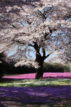 Cherry tree in full bloom and Moss Phlox, The Treasure Garden, Tatebayashi, Gunma, Japan