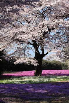 Cherry Blossoms and Moss Phlox, The Treasure Garden, Tatebayashi, Gunma, Japan