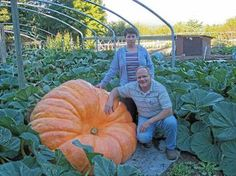 The LaRue's yearly giant pumpkins Tenino, WA