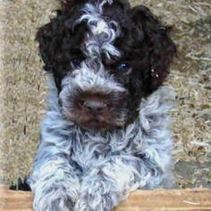Lagotto Romagnolo- aka the truffle dog! He's the perfect puppy for me