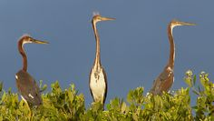 cmsheehyjr posted a photo:  Three juvenile Tricolored Herons keep watch from the top of mangrove trees in the Cedar Keys National Wildlife Refuge near Cedar Key, Florida.