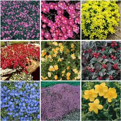 Colorful ground covers.    Top row: Trailing Lantana, Ice Plant, Sedum Acre     Middle row: Sedum Dragon's Blood, Gold Lantana, Wintergreen     Bottom row: Creeping speedwell, Creeping Thyme, Hypericum