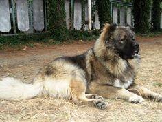Caucasian Shepherd Dog / Ovcharka / Mountain #Dog #Puppy