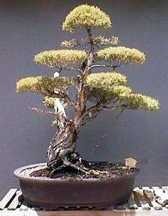 Australian Native Bonsai - Western Australia