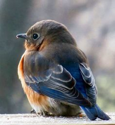 Female bluebird:  pretty photo and would make nice palette:  light bluish grey, darker maybe warmer grey, bright true blue accents, coppery accent